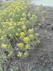 黄色の花とツクシ