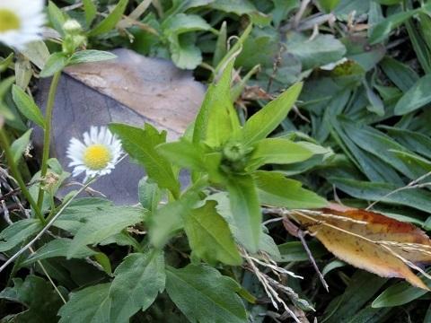 冬の野花蕾
