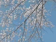 東御の桜空小_mini.jpg