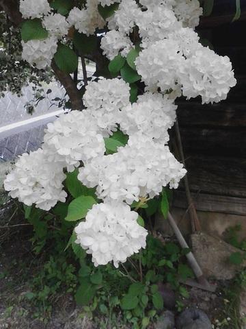 白小花.jpg