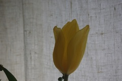 黄色いチューリップ.jpg