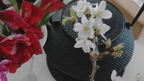 K桜の花640.jpg