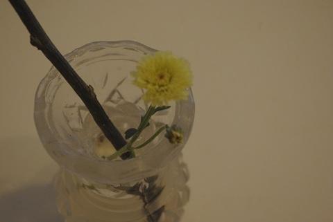 レムリア黄花